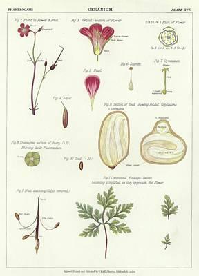 Geranium  Print by English School
