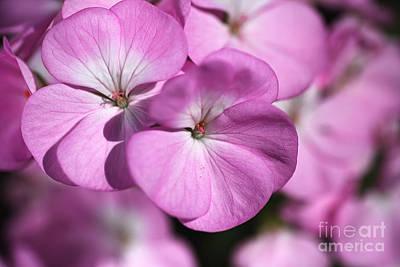 Photograph - Geranium Pink by Joy Watson