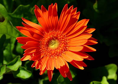 Summer Photograph - Orange Delight by Brian Manfra