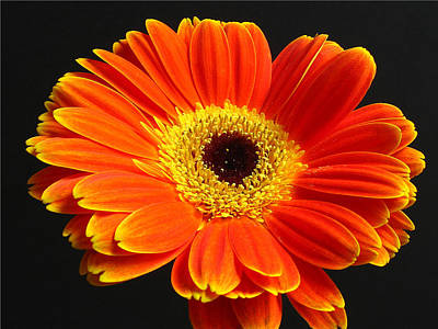 Gerber Daisy Portrait Print by Juergen Roth