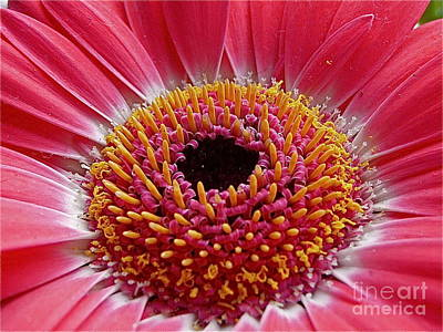 Sean Photograph - Gerbera Daisy by Sean Griffin