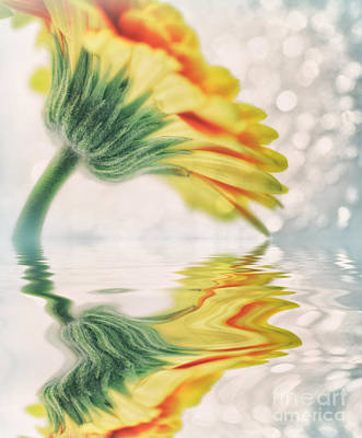 Gerbera In Water With Bokeh Print by SK Pfphotography