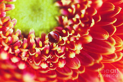 Gerbera With Drop Print by SK Pfphotography