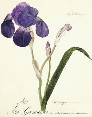 Print Of Irises Painting - German Iris by Capitaine Pelletier