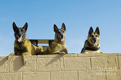 German Shephard Military Working Dogs Print by Stocktrek Images