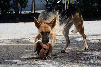 German Shepherd Playing Print by Andre Goncalves