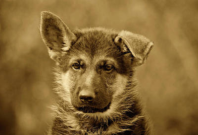 German Shepherd Puppy In Sepia Print by Sandy Keeton