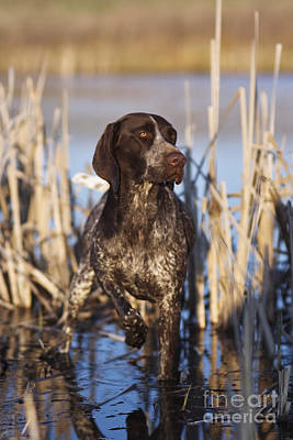 Cattails Photograph - German Shorthair On Point -  D000897 by Daniel Dempster