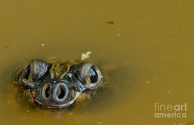 River Turtle Photograph - Giant Amazonian River Turtle by Dant� Fenolio
