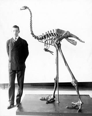 Moa Photograph - Giant Moa Skeleton by Granger