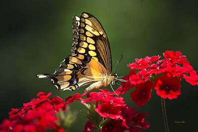 Giant Swallowtail Butterfly Print by Christina Rollo