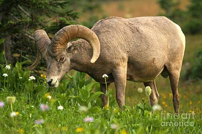 Bif Photograph - Glacier National Park Bighorn Grazing  by Adam Jewell