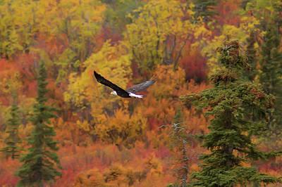 Eagle Photograph - Glide Path by Ed Boudreau
