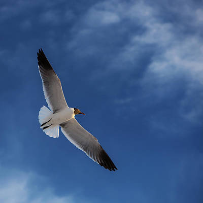 Seagull Photograph - Glider by Don Spenner