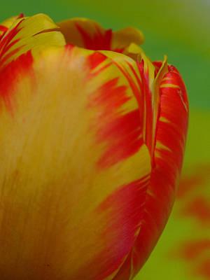 Globe Tulip Print by Juergen Roth