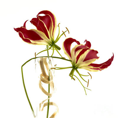 Cut Out Photograph - Gloriosa Lily. by Bernard Jaubert
