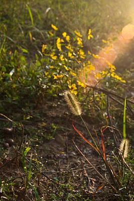 West Fork Photograph - Glorious Foxtail by Douglas Barnett