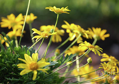 Glorious Yellow Daisies Print by Carol Groenen