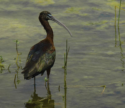Photograph - Glossy Ibis by Patty MacInnis