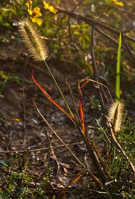West Fork Photograph - Glowing Foxtails by Douglas Barnett
