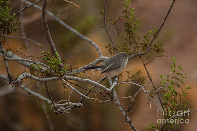 Gnatcatcher In The Trees Print by Ruth Jolly