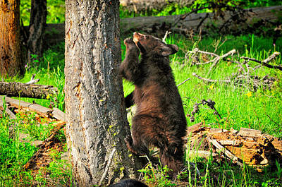 Bear Photograph - Go Climb A Tree by Greg Norrell