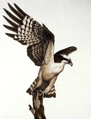 Osprey Drawing - Going Fishin' Osprey by Pat Erickson