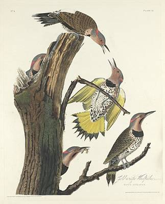 Woodpecker Drawing - Gold-winged Woodpecker by John James Audubon