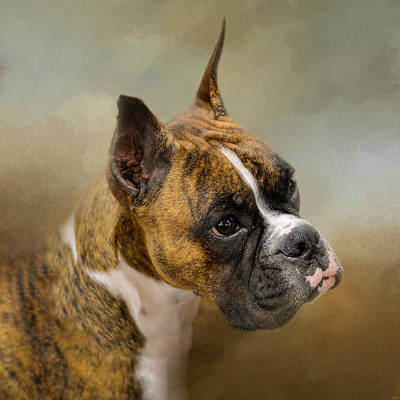 Golden Brindle Boxer Print by Jai Johnson