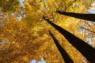 Golden Canopy - Three Trees Print by Georgia Mizuleva