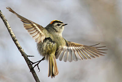 Wings Photograph - Golden-crowned-kinglet by Mircea Costina