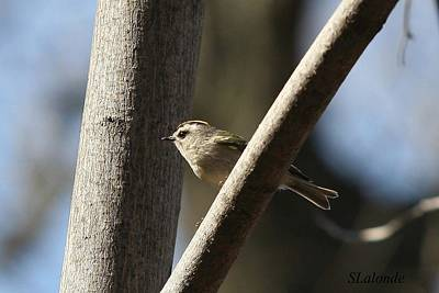 Photograph - Golden-crowned Kinglet by Sarah  Lalonde