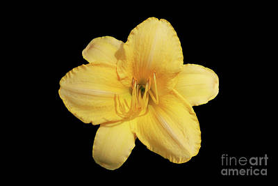 Lily Photograph - Golden Daylily by Judy Whitton
