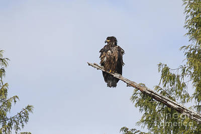 Black Photograph - Golden Eagle by Carolyn Brown