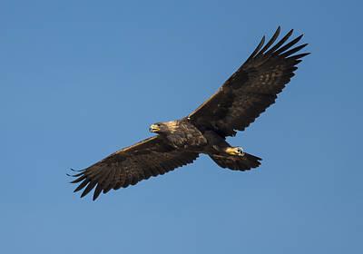 Golden Eagle In Flight Print by Loree Johnson