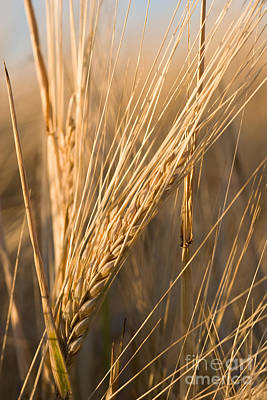 Artist Working Photograph - Golden Grain by Cindy Singleton