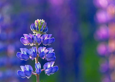 Golden Hour Lupine Print by Mary Amerman