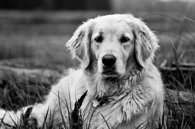 Lab Photograph - Golden Lab by Cale Best