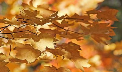 Golden Light Autumn Maple Leaves Print by Jennie Marie Schell