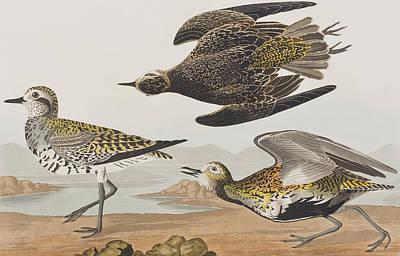 Plovers Painting - Golden Plover by John James Audubon