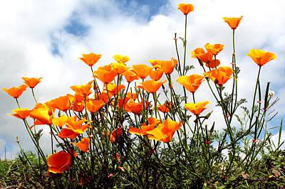 Poppy Photograph - Golden Poppies by K McCoy