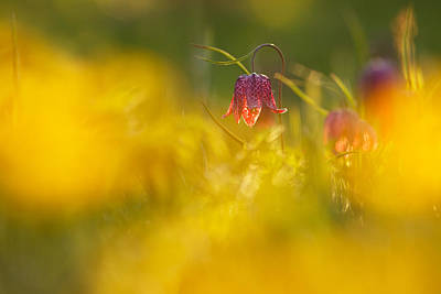 Fritillaries Photograph - Golden Sundown by Roeselien Raimond