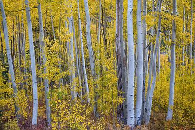 Birch Bark Photograph - Golden Wilderness by James BO  Insogna