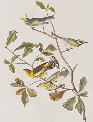 Warbler Drawing - Golden Winged Warbler Or Cape May Warbler by John James Audubon