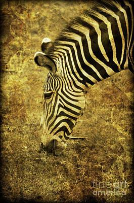 Golden Zebra  Print by Saija  Lehtonen