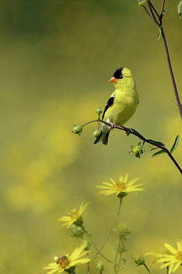 Birds Photograph - Goldfinch by Ann Bridges