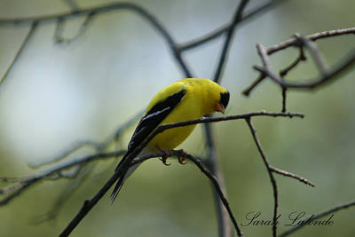 Photograph - Goldfinch by Sarah  Lalonde