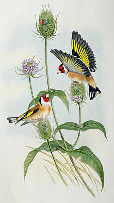 Finch Drawing - Goldfinches by John Gould