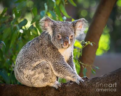 Koala Photograph - Good Morning Koala by Jamie Pham