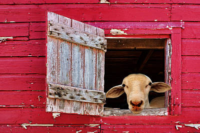 Barn Animal Photograph - Good Morning by Nikolyn McDonald